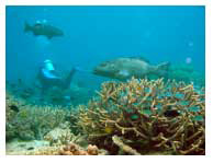 """(A) """"healthy"""" coral reef in the Great Barrier Reef with good water quality"""